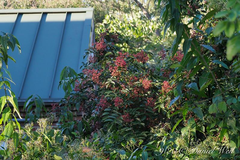 Zanthoxylum americanum (Toothache Tree) berries