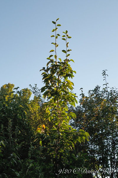 """Asian pear, Back Forty, reaching for the stratosphere.  So much for """"semi dwarf""""."""