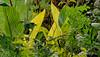 Canna Pretoria and various weeds