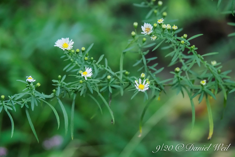 Aster by S pool
