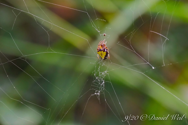 Apparent variation in the white backed type spider