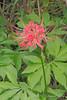 Lycoris radiata hybrid from Edensblooms