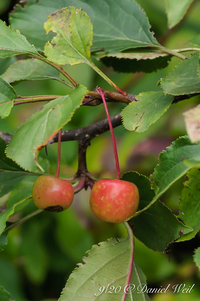Crabapples.... too small to use, came up volunteer.