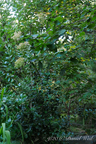 Holly and hydrangea in N. Forty bed