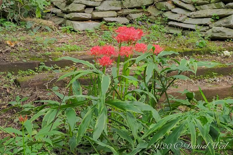 Lycoris radiata v. radiata by hellebore stairs