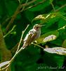 Female ruby throatd hummingbird