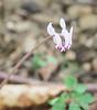 Almost-white Cyclamen hederifolium, N lane