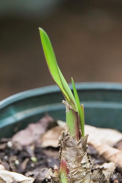 Amaryllis belladonna sprouting.  Note bloom bud at bottom.