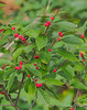 Ilex verticillata been berry berry good to us.