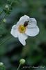 "Honorine Jobert.  My favorite ""Japanese"" anemone.  Well, minus the marmorated stink bug."