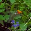 Look carefully.  It's poking its beak into the orange jewelweed, and the tail is by the Caryopteris.  Wings are going too fast to see.  They are that grey blur to the sides of the bird.