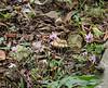 Cyclamen hederifolium N lane