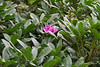 Out of season rhodo bloom, down driveway