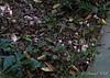 Cyclamen hederifolium, path by N lane