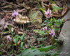 Cyclamen hederifolium, N lane