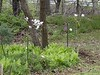 New magnolias, Hesperides
