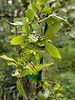 Abelia mosanensis