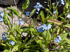 Forget-me-not (just bought)