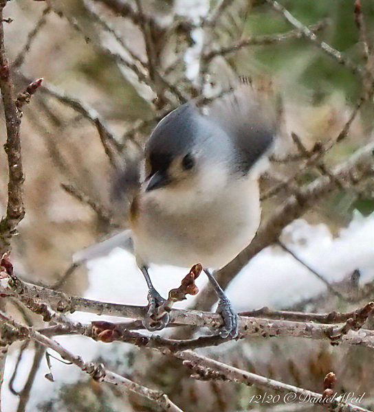 Tufted Titmouse...