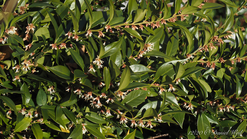 """Sarcococca confusa.  3' high shrub, teeny blooms but fragrance to die for.   (Dan says, """"or from..."""" )"""