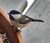 Have some seeds, my little chickadee....