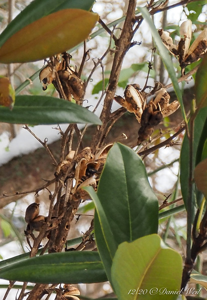 Yucca seed pods up in the magnolia tree.   All right, only four feet up, but stilll, up in the magnolia tree.
