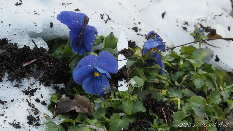 Pansies, bouncing back.  Don't ask what that label is doing....