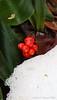Rohdea berries, ho, ho, ho...