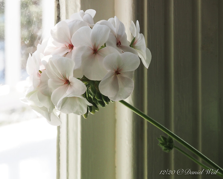 Geranium, in Dan's study.  They bloom summer outside, winter inside.  What's not to like?