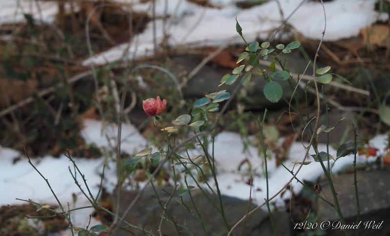 Rose near kitchen porch, somewhat frostbitten