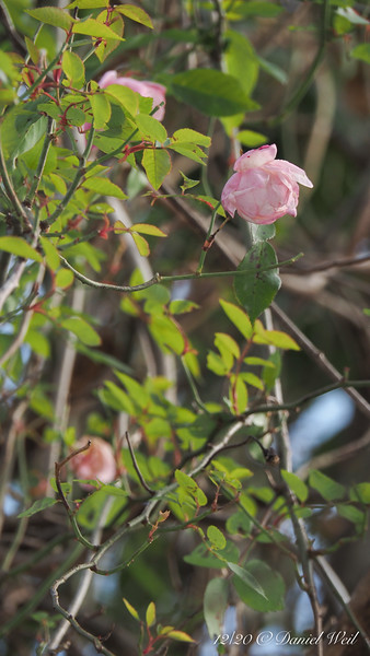 This airborne rose was AFTER the snowstorm...