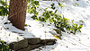 Under the deodars.... 400 hellebores, flattened by snow.  399 not visible....