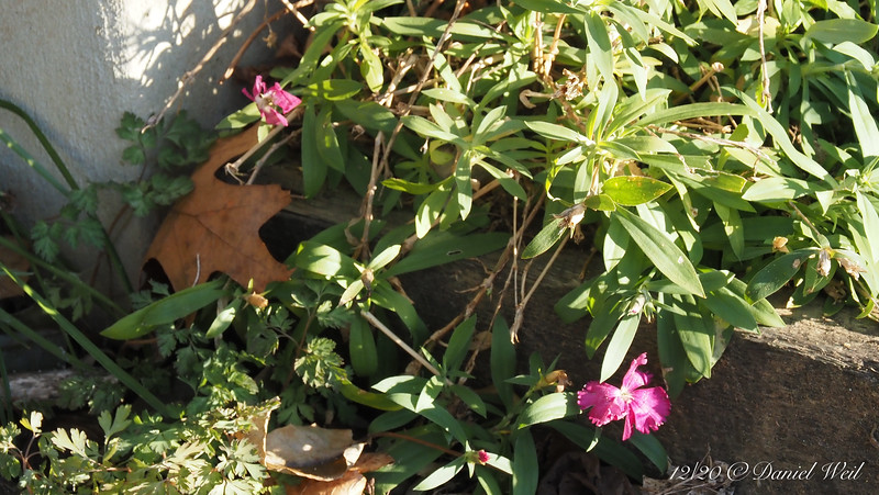 """""""Annual"""" dianthus, foot of library stairs.  Buy them on remainder at the box stores, they are BETTER the second year...."""