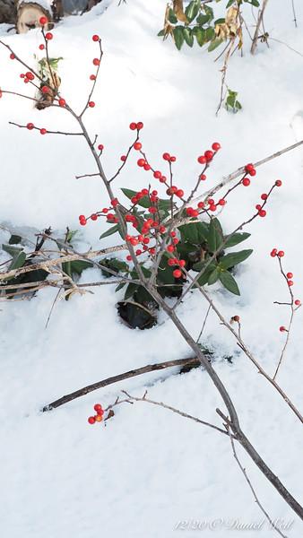 Winterberry and (gag) honeysuckle.