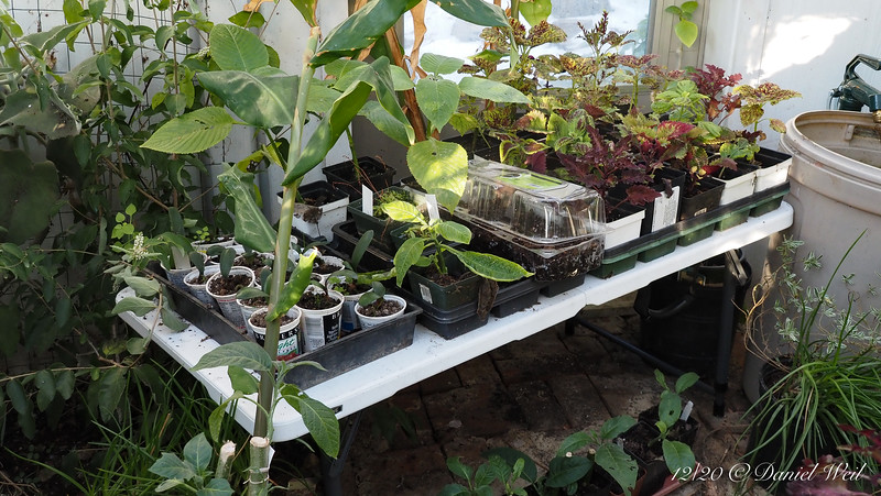 All sorts of things propagating/growing.  I don't know how I managed without a greenhouse.