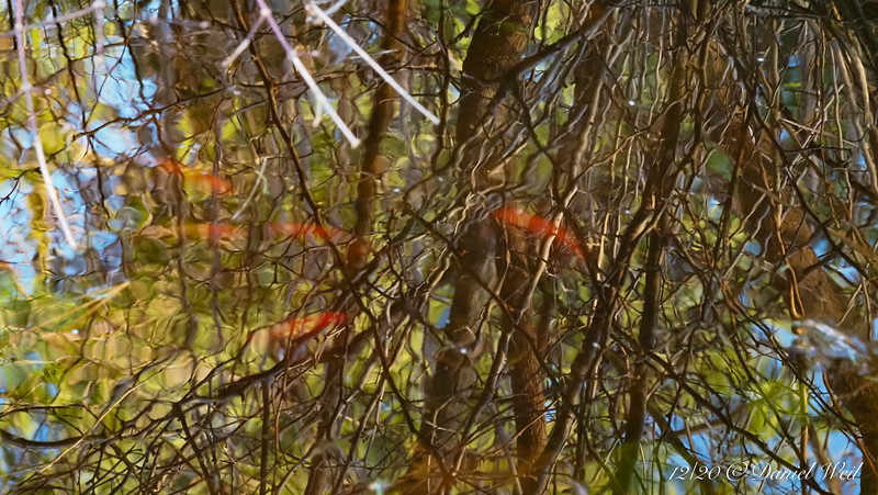 North pond.  Reflection of flowering quince branches & goldfish.