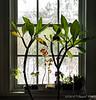 Guest room window, plumeria, coleus, impatiens & mother-in-law's tongue