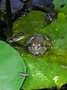 Lazy frog.... that water strider is quite reachable....