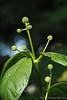 Cephalanthus (buttonbush) buds