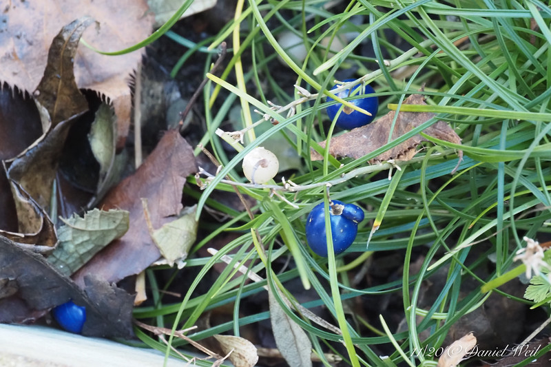 Ophiopogon under Tai-haku cherry
