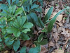 Hellebore and variegated Rohdea, top of hellebore stairs