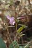 Straggling Fall bloom, azalea, by large arbor
