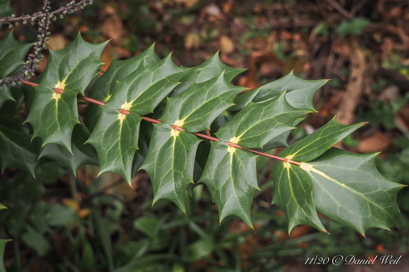 Mahonia bealei by small arbor.