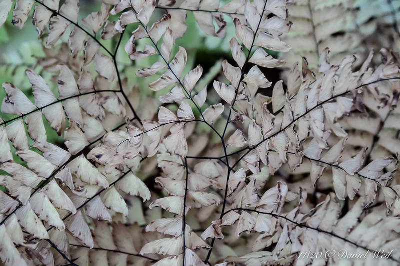 Maidenhair fern, bleached after frost