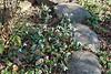 Galanthus elwesii ssp monostictus ex Montrose, Shade Room
