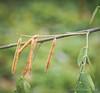 Indigofera seed pods, Back Forty