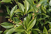 Sarcococca confusa berries, SE corner guest room, & buds for next month