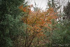 View shot OVER the south pond; Carolina Sapphire (I think: Carolina something), then Japanese maple, then Pinus bungeana.