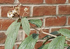 Leatherleaf viburnum, should be blooming Jan-Feb.