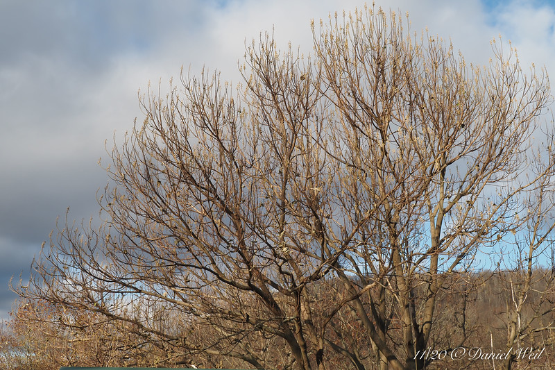 Paulownia fortunei buds for next year.  Hopefully they won't get knocked off by winter wind.